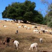 Goats Return to Menlo Park