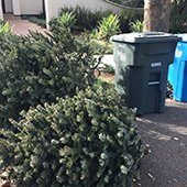 holiday trees set out for collection