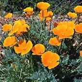 orange california poppies in bloom